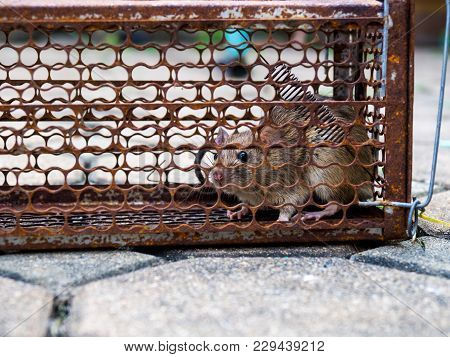The Rat Was In A Cage Catching A Rat The Rat Has Contagion The Disease To Humans Such As Leptospiros
