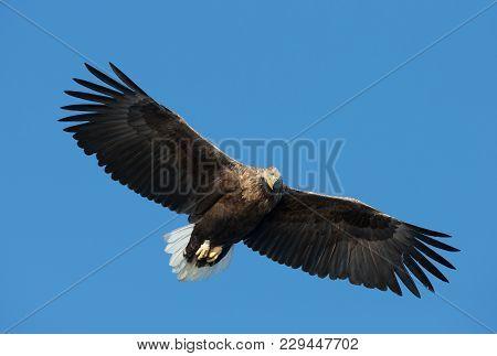 Close-up Of A White-tailed Sea Eagle (haliaeetus Albicilla) In Flight, Norway.
