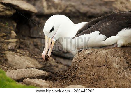Close Up Of A Black-browed Albatross Building A Mud Pillar Nest, Falkland Islands.