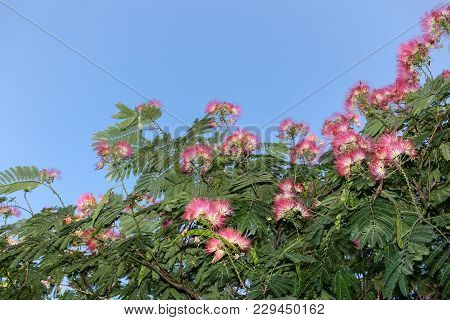A Sunlit Blooming Pink Acacia On The Blue Sky Background With Copy Space.