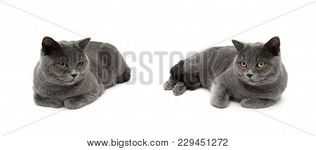 Gray Cats Are Lying On A White Background. Horizontal Photo.