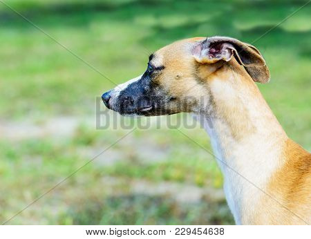 Whippet Portrait. The Whippet Is In The Park.