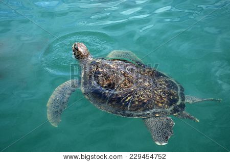 Sea Turtle Swims In Sea Water. Olive Green Sea Turtle Closeup. Wildlife Of Tropical Coral Reef. Tort
