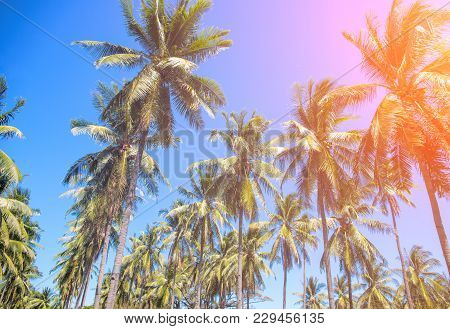 Tropical Landscape With Palm Trees. Coco Palm Tree Top With Orange Sun Flare. Palm Tree Crown With G
