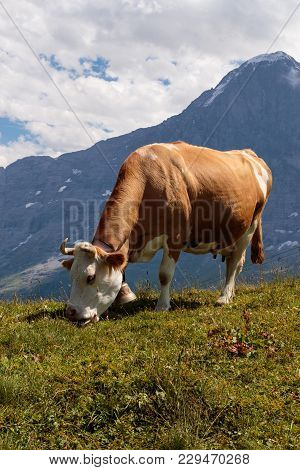 Brown Mountain Cow Grazing On An Alpine Pasture In The Bernese Alps, Jungfrau Region, Bernerse Oberl