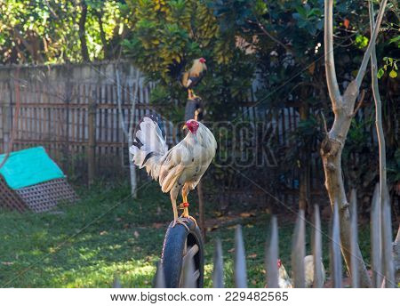 White Rooster On Fence. White Rooster In Sunny Village Yard. Beautiful Feathers Of Rooster. Rooster