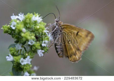 Closeup Image Of A Burnet Companion Moth (euclidia Glyphica)
