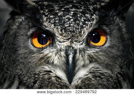 Owl Eyes Close Up. Bird Of Prey Portrait. Wild Animal.
