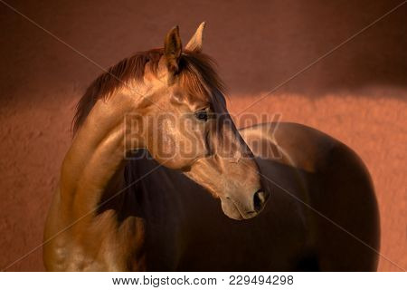 Portrait Of The Chestnut Thoroughbred Horse On Red Background