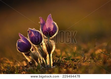 Spring And Springtime. Blooming Beautiful Flowers On A Meadow In Nature. Pasque Flower And Sun With