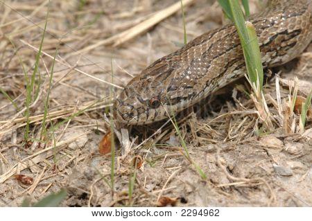 Kingsnake In The Grass