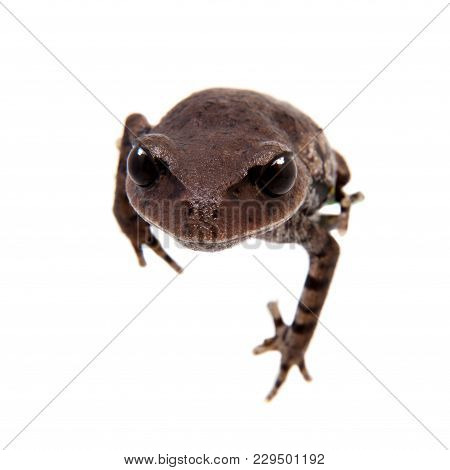 Kakhien Hills Spadefoot Toad, Brachytarsophrys Feae, Isolated On White Background