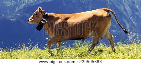 Alpine Landscape And Brown Cow In France In Spring