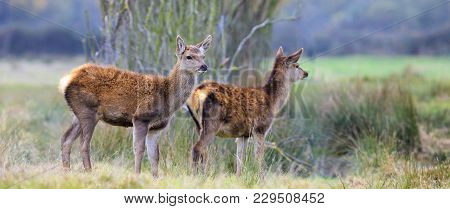 Two Whitetail Fawns In A Thick Forest