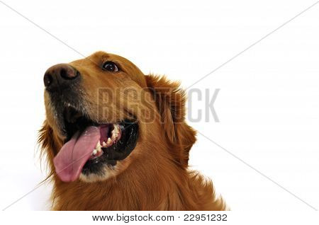 Golden Retriever Dog Very Expressive Face. Right Side Look.