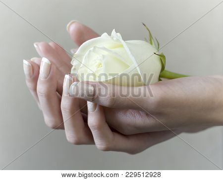 Female Hand Holding A Blooming White Rose