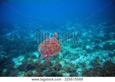 Wild Sea Turtle Swims In Sea Water. Green Sea Turtle Closeup. Wildlife Of Tropical Coral Reef. Torto