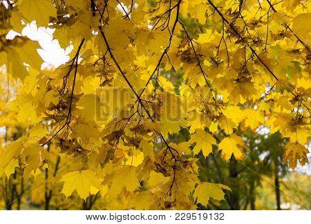 Mapple Leaves At Rainy Morning. Pattern, Background.
