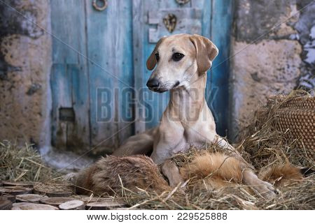 dug-outs, greyhound hunting dog from the east
