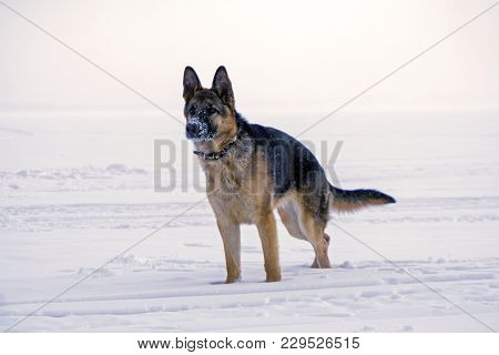 Young Dog Eastern European Shepherd With A Snow-covered Nose, Stands In The Snow
