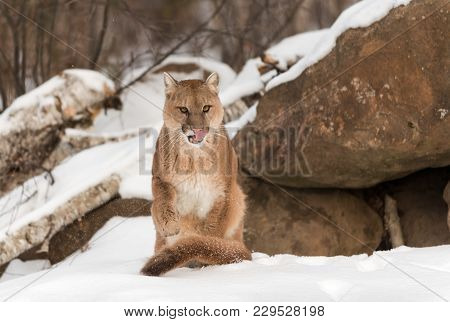 Adult Female Cougar (puma Concolor) Sits In Snow And Licks Nose - Captive Animal