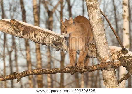 Adult Female Cougar (puma Concolor) Straddles Tree Branch - Captive Animal