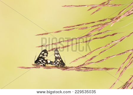 Indian Skipper Butterflies (spialia Galba), Mating In Spring - Bright Green Nature Background With C