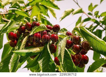 Closeup Of Cherry Tree Branch With Ripe Sweet Cherries