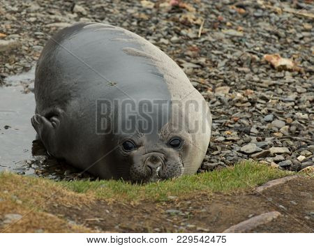 Young Molting Elephant Seal Or Weiner Facing The Camera. It Is Laying In A Puddle Of Water.
