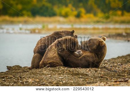 Mama-bear Milking Her Two Cubs In Brooks Falls Camp In Alaska, Wild Bears In Katmai National Park, U