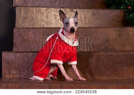 Cute American Hairless Terrier Is Sitting On Staircase In A New Year's Eve Dress. Pet Animals.