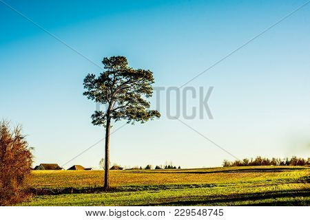 A tall lonely pine tree out in a grassy field with evening shadows.
