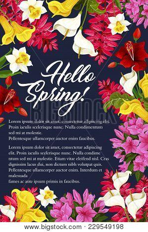 Hello Spring Floral Poster Of Daffodils, Tulips Or Garden Blooming Callas. Vector Springtime Greetin