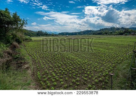 Plantation In The Field Of Agriculture With Sunlight And Cloudy Sky, Countryside Of Thailand