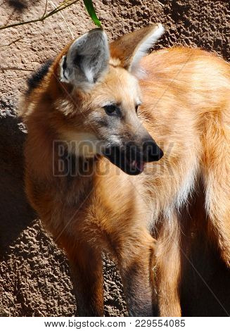 A Maned Wolf Close Up In The Sunlight