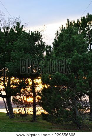 Sunset Through The Pine Trees In Massachusetts At The End Of Winter.