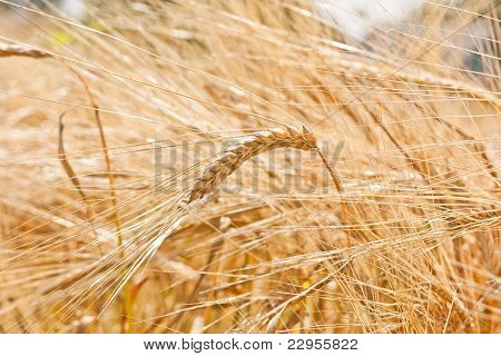 Cereals Close Up
