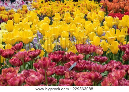 Species Botanical Tulips Flowers Blooming In A Garden