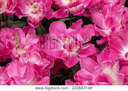 Species Botanical Tulips  Blooming In A Garden