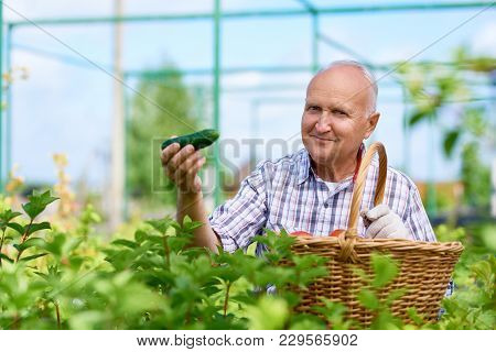 Portrait Of Smiling Old Man Presenting Cucumbers Proudly Looking At Camera, Gathering Rich Harvest I