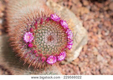 Cactus Flower In Desert Botanical Garden. Cactus Flower For Decoration. Cactus Flower In A Planter.