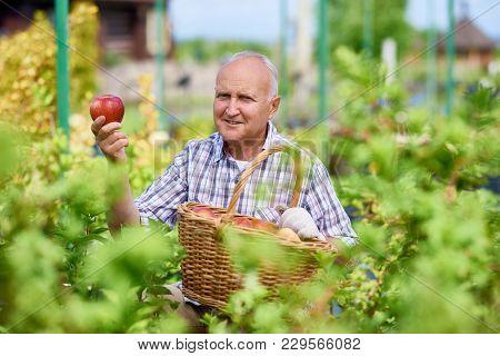 Portrait Of Proud Senior Gardener Harvesting Fresh Fruits In Glass House, Looking At Camera Holding