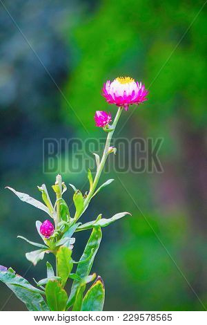 King Proteas Flower At Kenya In Africa
