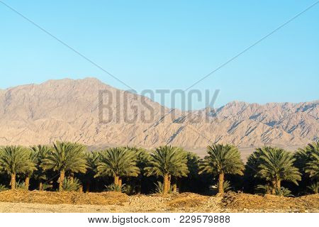 Plantation Of Phoenix Dactylifera, Commonly Known As date or date Palm Trees In Arava Desert, Israel