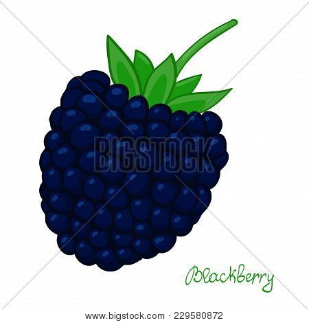 Ripe Blackberry. Isolated Dewberry On White Background. Summer Berry Of Bramble. Vector