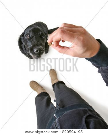 studio shot of a cute black lab begging for a treat isolated on a white background
