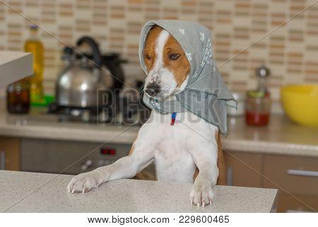 Portrait Of Basenji Dog Female Wearing Kerchief Standing On The Kitchen