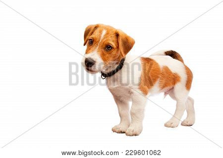 Jack Russell Terrier Puppy Portrait. Image Taken In A Studio. Isolated On White. Copyspace For Text