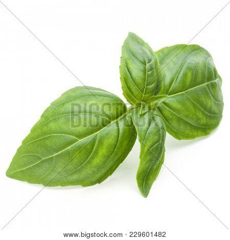 Close up studio shot of fresh green basil herb leaves isolated on white background. Sweet Genovese basil.