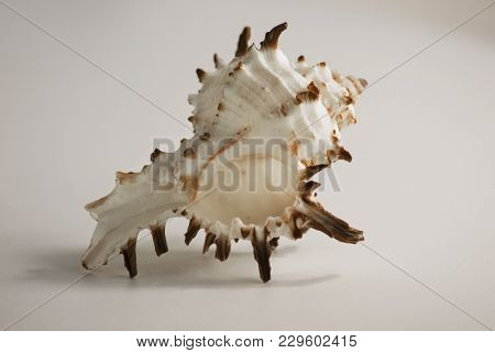 Sea Shell Close-up On Isolated White Background.